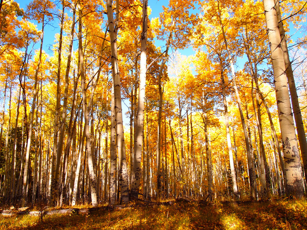 Changing Aspens in Colorado